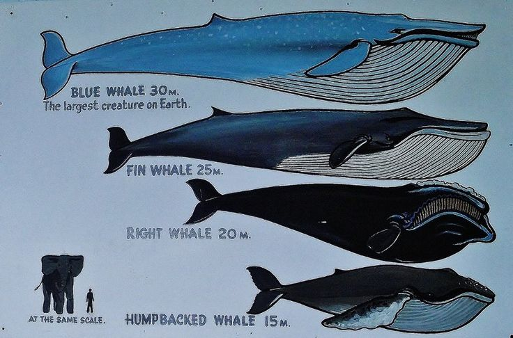 an introduction to giant mammals of the sea the whales Marine animal videos - interesting videos, lessons, quiz games, interactive diagrams, presentations and activities on marine animals.